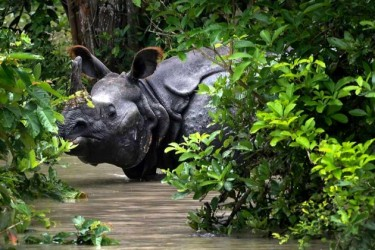 Assam To Set Fire To 2,500 Rhino Horns Seized From Poachers To Mark World Rhino Day